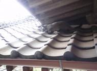 屋根の隙間から出てきたハクビシン