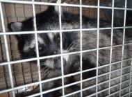 捕獲されたアライグマ
