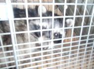 捕獲されたアライグマ 2頭目