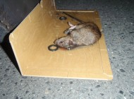 天井裏で捕獲されたクマネズミ