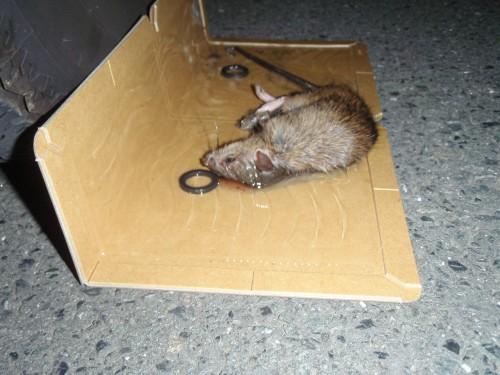 クマネズミの画像 p1_12