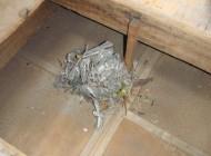 天井裏に出来ていたクマネズミの巣