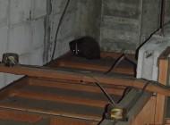 天井裏の片隅にうずくまるハクビシン